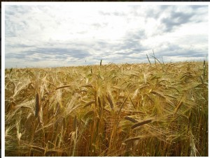 malte agrária
